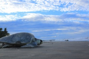 Giant Sea Turtle in Costa Rica