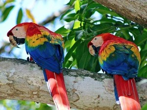Scarlet Macaws Luxury Costa Rica Vacations with Pura Vida House