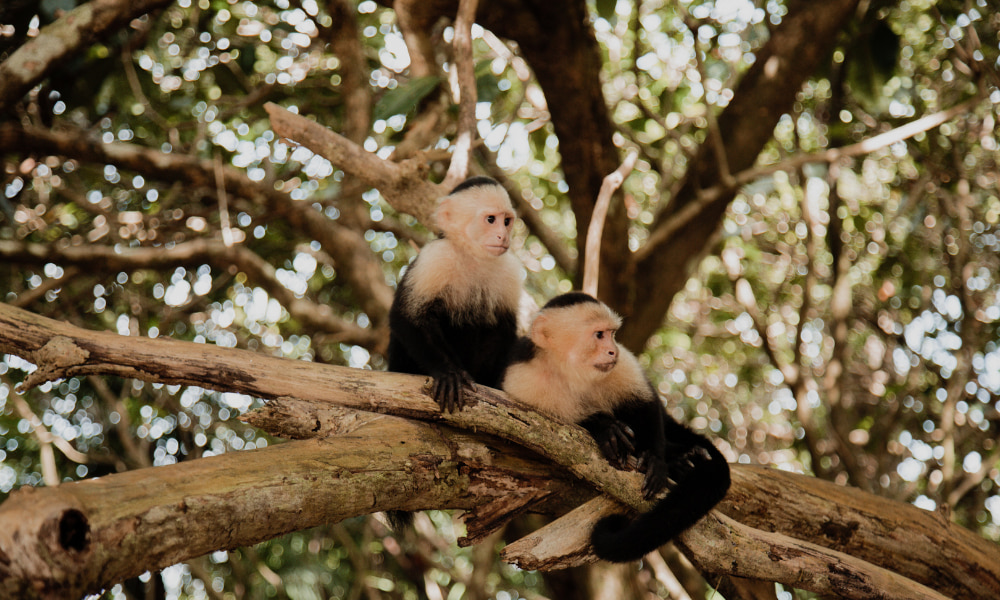 wild monkeys in costa rica