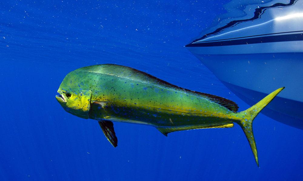 costa rica fishing for mahi mahi fish
