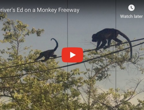 Driver's Ed on a Monkey Freeway