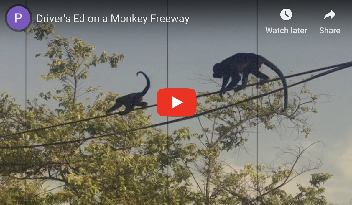 monkey performing tight rope routine over highway