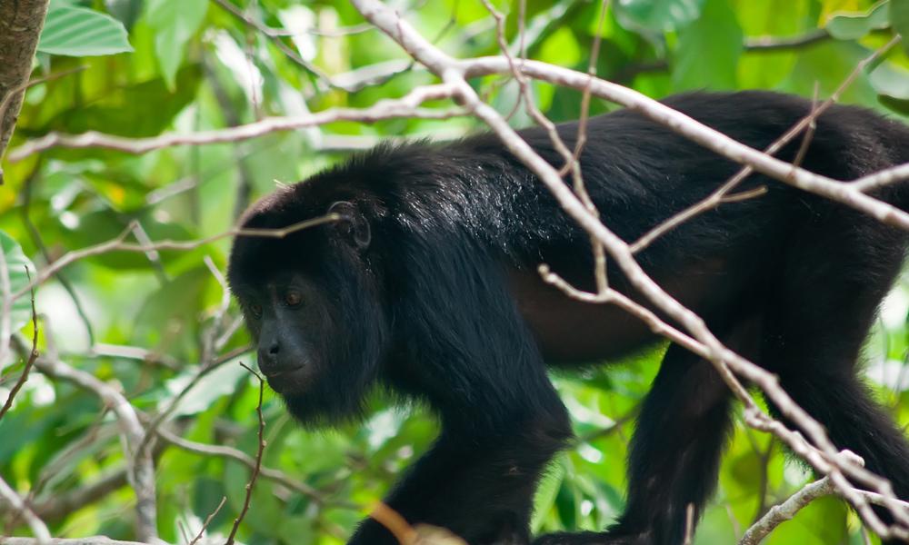 howler monkeys seen on hiking trails in costa rica